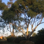Sewjourn back yard gum trees