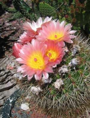 pink_cactus
