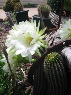 white_cactus